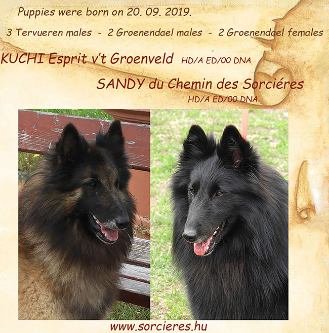 Groenendael & Tervueren puppies are available